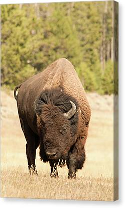 Bison Canvas Print by Corinna Stoeffl, Stoeffl Photography