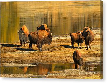 Canvas Print featuring the photograph Bison Family Crossing by Adam Jewell