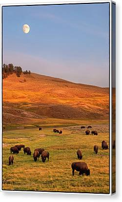 Bison Grazing On Hill At Hayden Valley Canvas Print