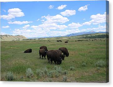 Bison In A Field Canvas Print