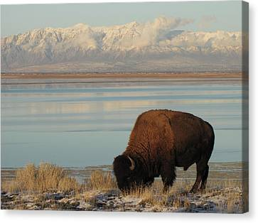 Bison In Front Of Snowy Mountains Canvas Print
