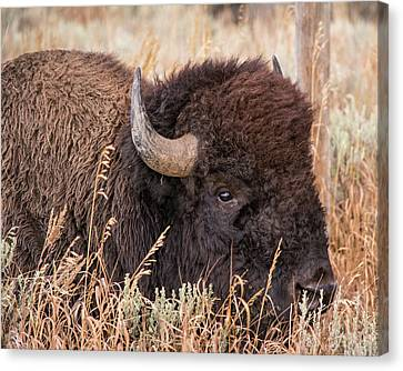 Canvas Print featuring the photograph Bison In The Grass by Mary Hone