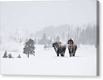Bison In The Snow Canvas Print by Gary Lengyel