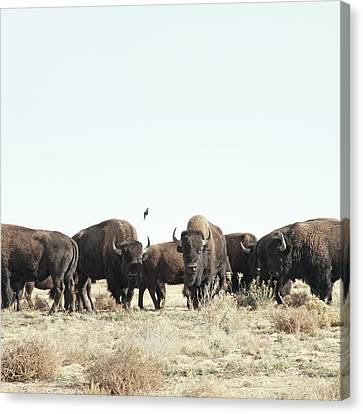 Bison Canvas Print by Lauren Mancke