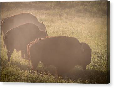 Bison Morning Mist Yellowstone Canvas Print