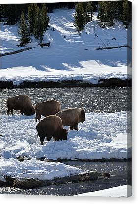 Canvas Print featuring the photograph Bison On River Strand by Kae Cheatham