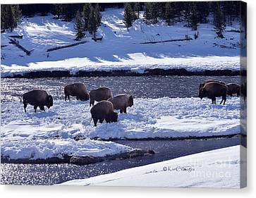 Canvas Print featuring the photograph Bison On River Strand Landscape by Kae Cheatham