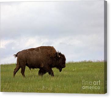 Bison On The American Prairie Canvas Print by Olivier Le Queinec