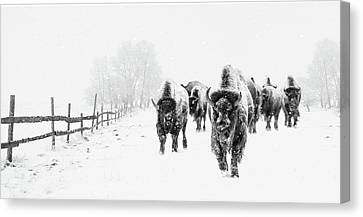 Canvas Print - Bison On The Run by Andrea Kollo