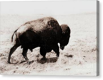 Bison On The Trail Canvas Print