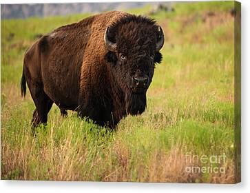 Bison Prime Canvas Print