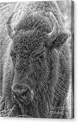 Canvas Print featuring the photograph Bison  by Robert Pearson