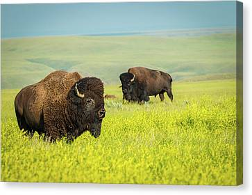 Tracy Munson Canvas Print - Bison by Tracy Munson