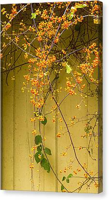 Bittersweet Vine Canvas Print by Tom Singleton
