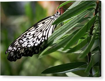 Black And White Butterfly -  Canvas Print