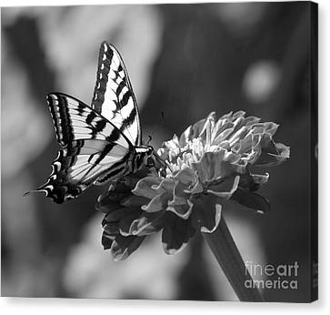 Black And White Butterfly On Zinnia Canvas Print by Jim and Emily Bush