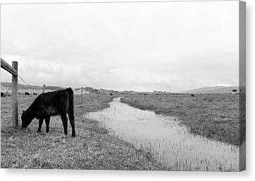 Black And White Cows Canvas Print by Sierra Vance
