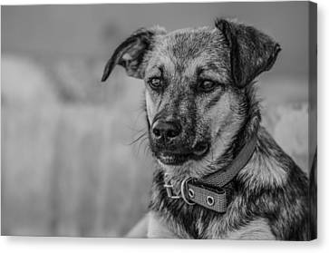 Black And White Dog Portrait Canvas Print by Daniel Precht