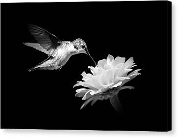 Canvas Print featuring the photograph Black And White Hummingbird And Flower by Christina Rollo