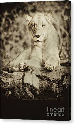 Black And White Lioness Canvas Print by Stephanie Hayes