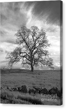 Black And White Oak Tree Canvas Print