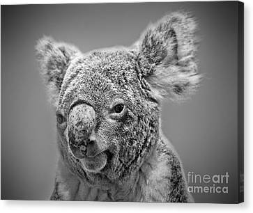 Black And White Portrait Of A Koala  Canvas Print by Jim Fitzpatrick