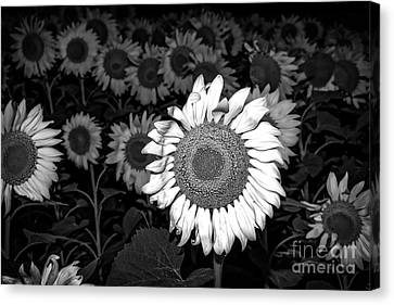 Black And White Sunflowers Canvas Print by Tod and Cynthia Grubbs