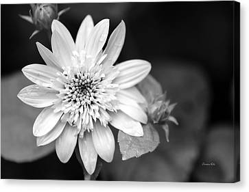 Canvas Print featuring the photograph Black And White Sunrise Coreopsis by Christina Rollo