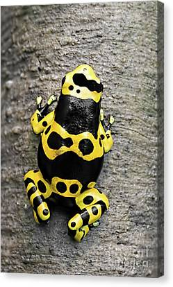 Black And Yellow Poison Dart Frog Canvas Print by Barbara McMahon
