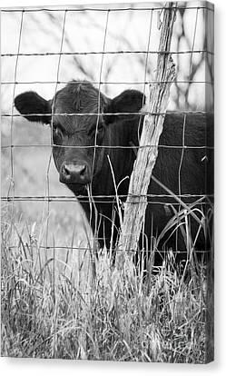 Black Angus Calf Canvas Print