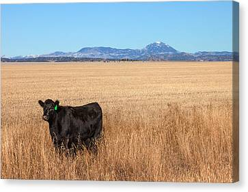 Angus Steer Canvas Print - Black Angus Looking by Todd Klassy