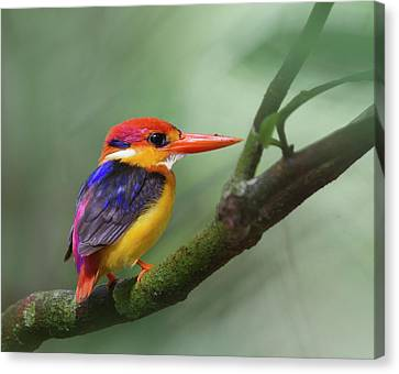 Black-backed Kingfisher Canvas Print