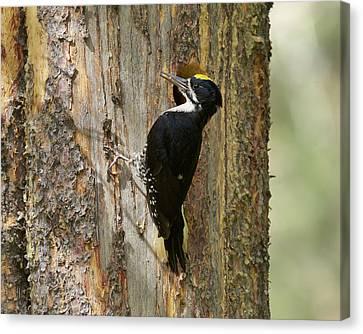 Black-backed Woodpecker Canvas Print by Doug Herr