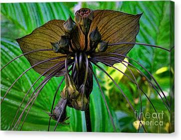 Black Bat Orchid Canvas Print by Sue Melvin