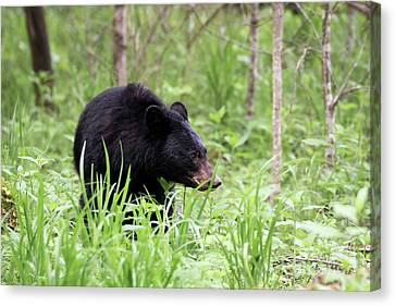 Black Bear Canvas Print by Andrea Silies