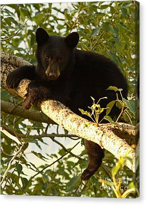 Black Bear Cub Resting On A Tree Branch Canvas Print by Max Allen