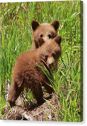 Black Bear Cubs Canvas Print
