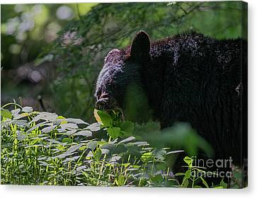 Black Bear Eating Leaves With Mouth Open Showing His Teeth Canvas Print by Dan Friend