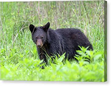 Black Bear In The Wild Canvas Print