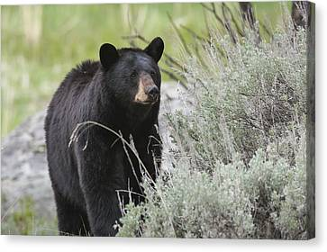 Black Bear Sow Canvas Print