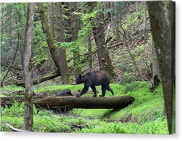 Black Bear Walking Across Log Canvas Print