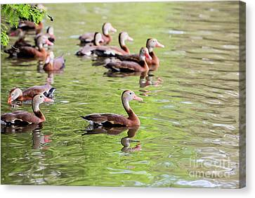 Black Bellied Whistling Duck Canvas Print by Scott Pellegrin