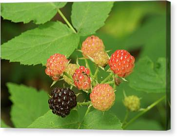 Black Berries Canvas Print by Michael Peychich