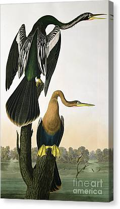Black Billed Darter Canvas Print by John James Audubon