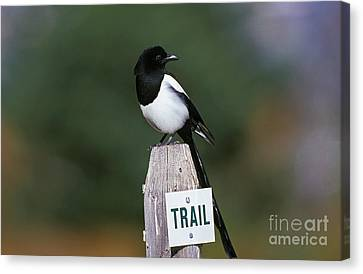 Black-billed Magpie Canvas Print - Black-billed Magpie Pica Pica by Gerard Lacz