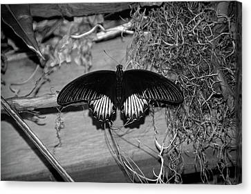 Black Butterfly In Black And White Canvas Print by Aimee L Maher Photography and Art Visit ALMGallerydotcom