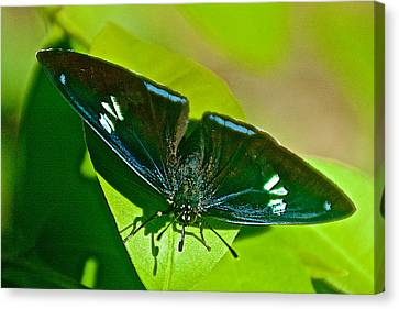 Black Butterfly In Iguazu Falls National Park-argentinia  Canvas Print by Ruth Hager