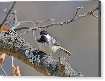 Canvas Print featuring the photograph Black Capped Chickadee 1109 by Michael Peychich