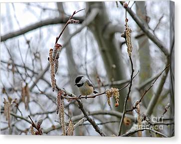 Canvas Print featuring the photograph Black-capped Chickadee 20120321_38a by Tina Hopkins