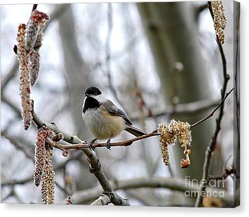 Canvas Print featuring the photograph Black-capped Chickadee 20120321_39a by Tina Hopkins